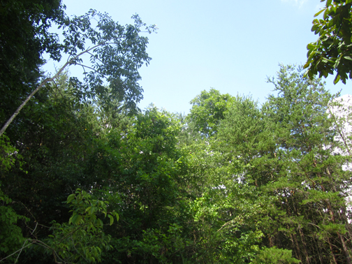 summer tree tops