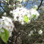 #WordlessWeekend Pear Blossoms